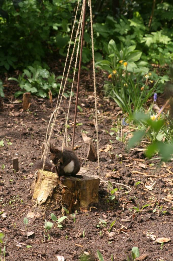 Das Eichhörnchen wickelt Faden ab (c) BFreith www.freith.de/stimme