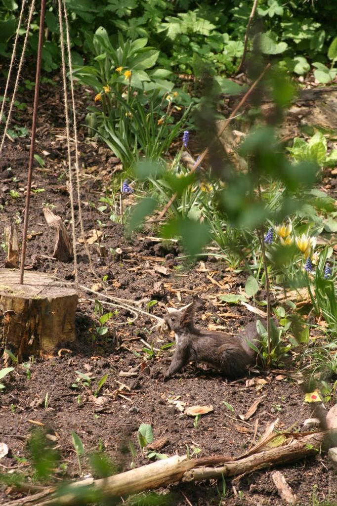 Eichhörnchen (c) BFreith www.freith.de/stimme