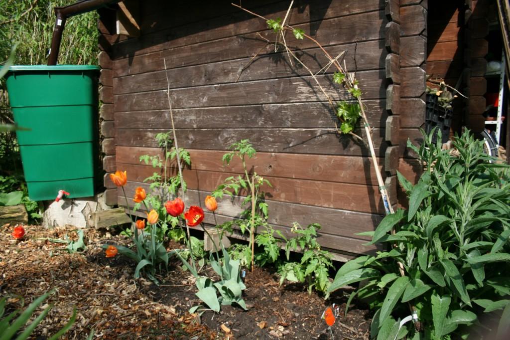 Einen Stall habe ich nicht, nur einen alten Schuppen. Im Frühjahr sieht es da so aus. (Dahinter ist der Garten so ziemlich zuende.)
