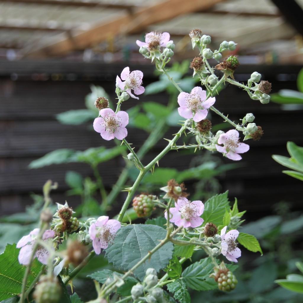 Die Brombeeren blühen einfach immer weiter, bis zum Frost. Natürlich könnte man die neuen Blüten abschneiden, damit die Kraft in die Früchte geht. Aber das ist mir zu pieksig und bei meiner Brombeermenge auch nicht nötig.