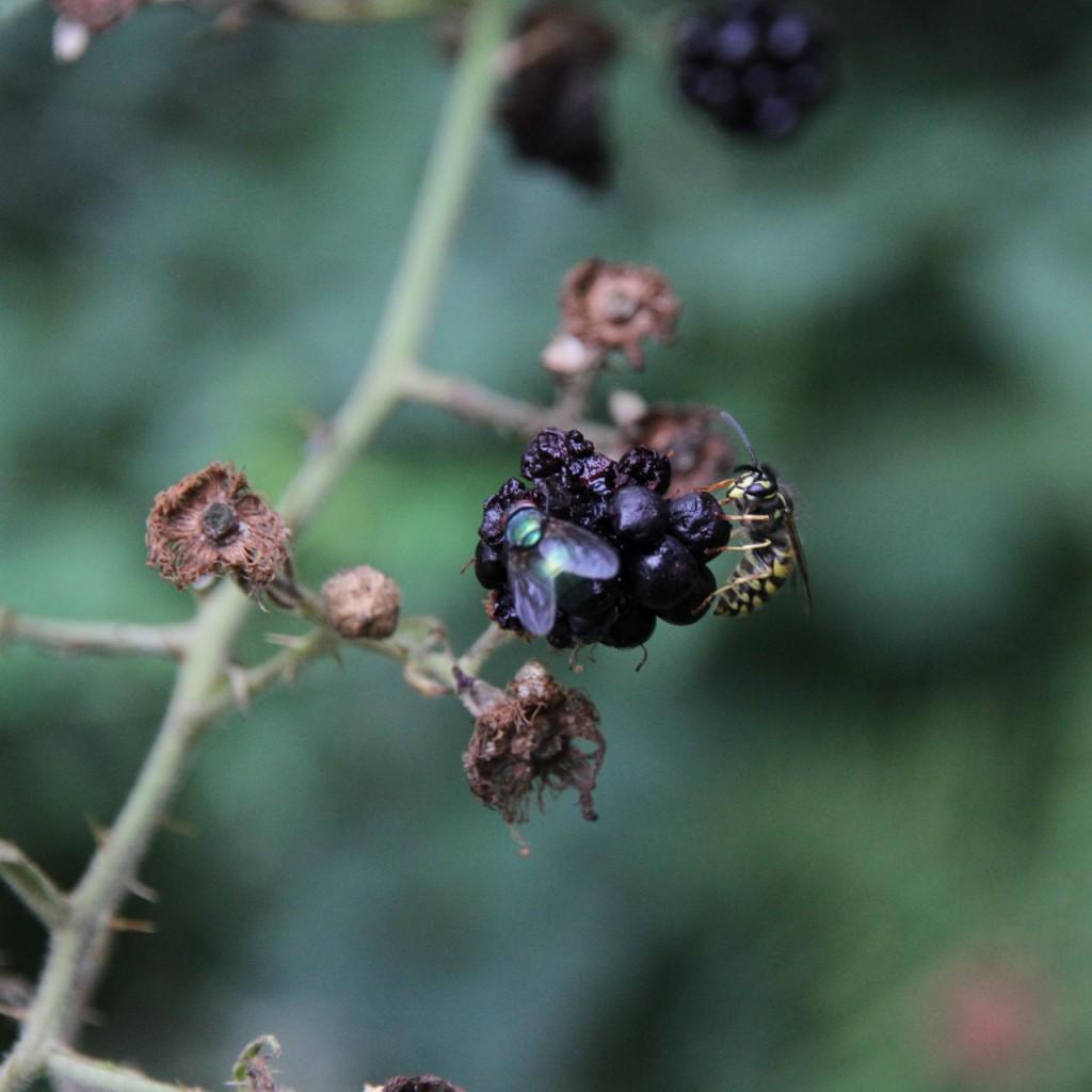 Wenn ich mit der Ernte durch bin, bleibt immer noch reichlich Süßes für andere Insekten - die dann im August und September nicht über meinem Kuchen kreisen.