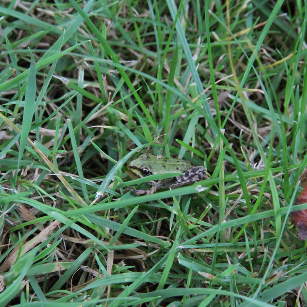 Wirklich gut getarnt: der Grasfrosch.