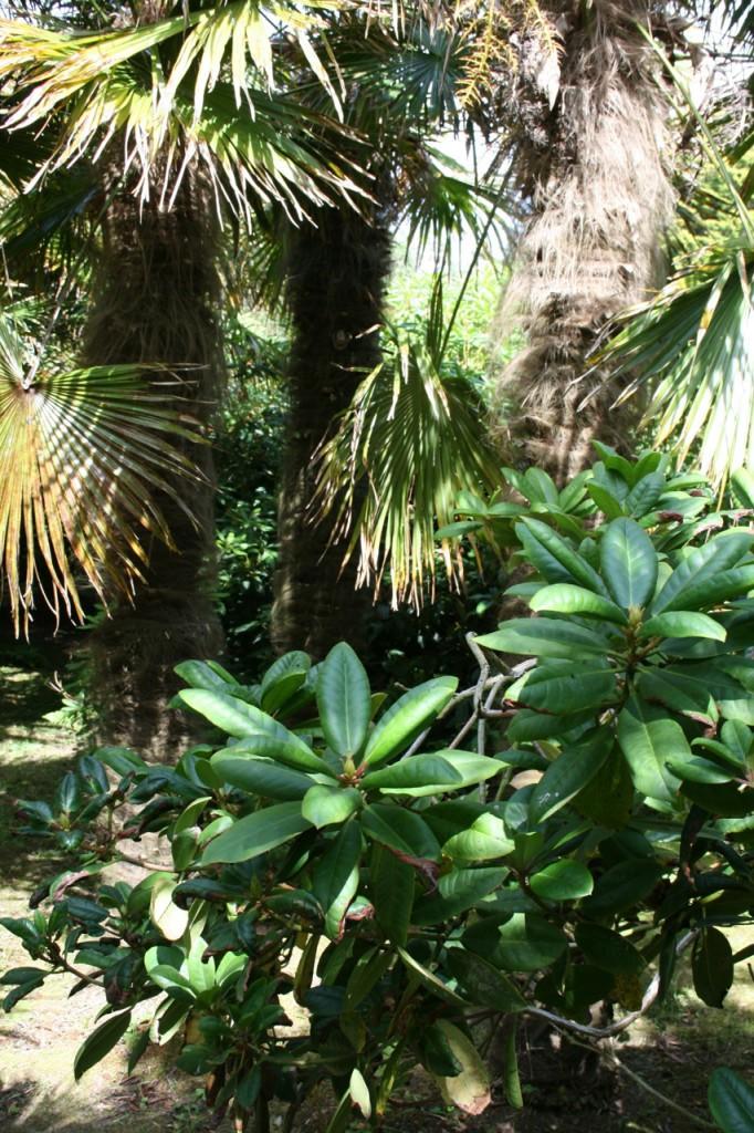 Sehr ungewöhnliche Kombi, gibt einen seltsamen Wald: Palmen und Rhododendron.