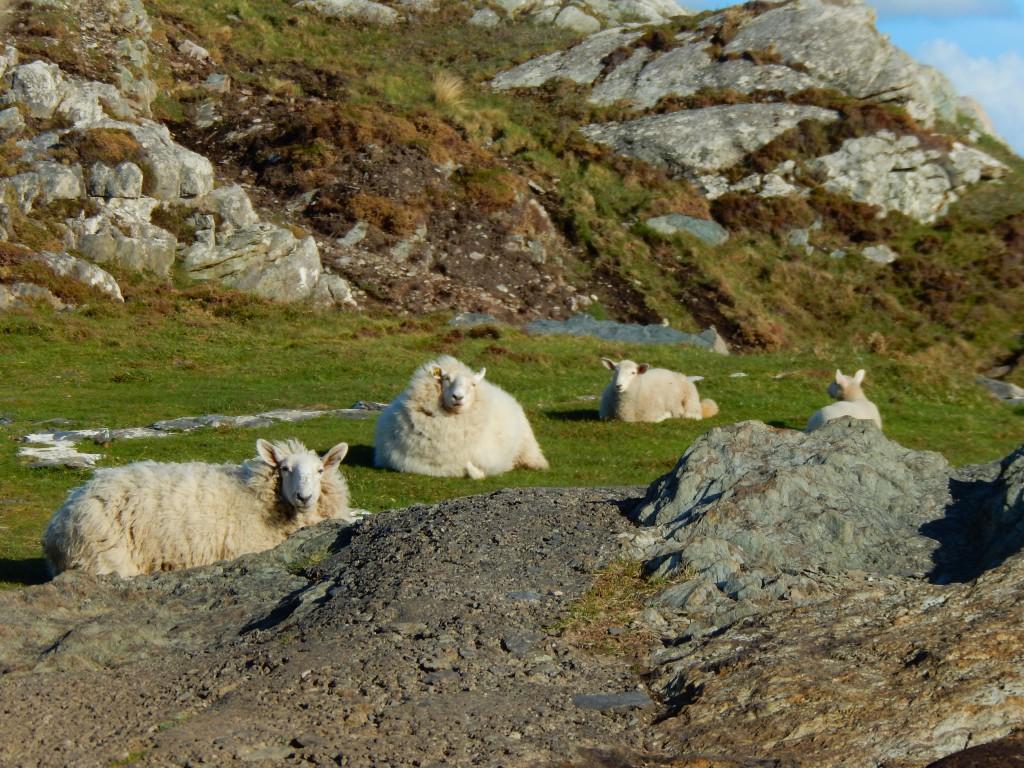 4 Schafe auf der Wiese